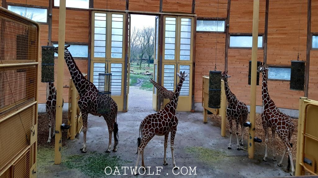 Giraffes Diergaarde Blijdorp Rotterdam Zoo