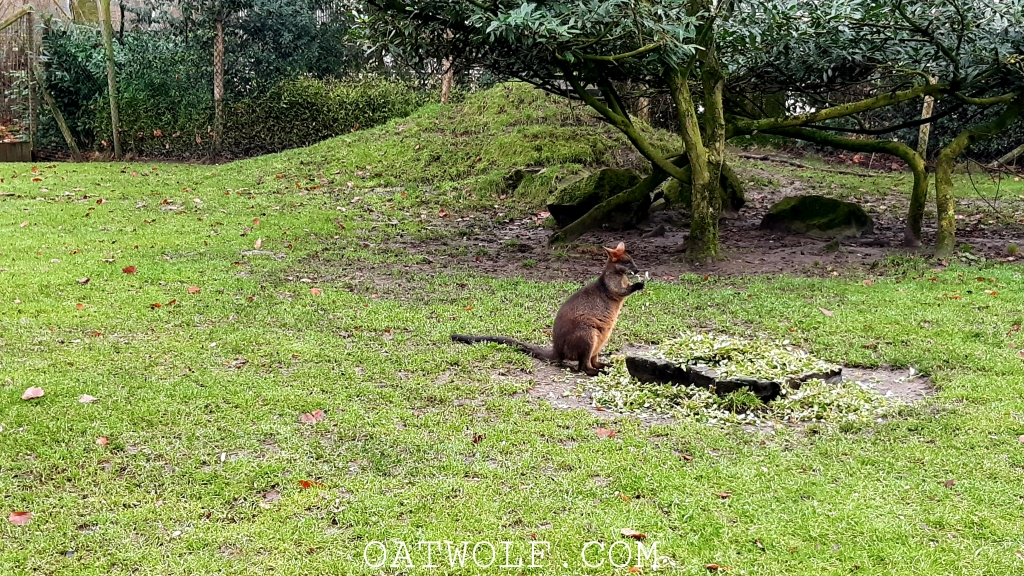 Small kangaroo Diergaarde Blijdorp Rotterdam Zoo