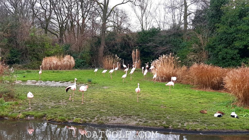 Flamingoes Diergaarde Blijdorp Rotterdam Zoo